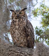 Great Horned Owl (Explored, March 21, 2018) (Mark Schocken) Tags: bubovirginianus great horned owl safetyharborfl markschocken