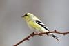 American Goldfinch (jlcummins - Washington State) Tags: home americangoldfinch yakimacounty washingtonstate bird wildlife fauna nature spinustristis