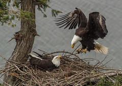 ND5_4886 About to Deliver (Wayne Duke 76) Tags: delivery nest eagles fish talons raptors feedingtime