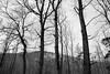 Trees (AprilFreak) Tags: black white bw tree trees monochrome mysterious mountain nature forest