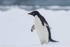 Adelie Penguin (Dgrgic) Tags: penguin adeliepengun antarctica birds nature wildlife