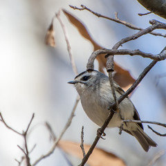 Golden-crowned Kinglet, Lake Conestee, SC (hmthelords) Tags: lakeconestee
