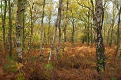 Autumnal Woods (Benjamin Driver) Tags: autumn 2017 woods trees tree birch silver silverbirch orange warm forest