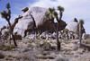 Joshua Tree Nat'l Monument - Cap Rock - 1971 (tonopah06) Tags: caprock naturetrail joshuatreenationalmonument joshuatreenationalpark 1971 kodachrome california ca highdesert joshuatree gramparsons mojavedesert rock