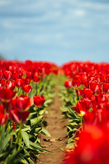 Red rows (briangeerlings) Tags: woodenshoetulipfestival tulip oregon nature flower color sony a7 red green sky clouds blue bokeh dof 135mm cosina135mmf28 row field