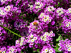 Lonely little bee determinedly gathering pollen. (vickilw) Tags: getty thegetty lonely little bee pollen flower garden alyssum earthday 412018 41118 6ws