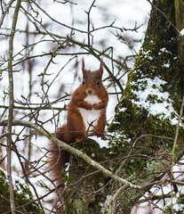 0116 (5) - Red Squirel on full alert as a fox is at the base of the tree (Zana Benson) Tags: redsquirrel snow