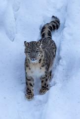 Ähtäri Zoo, Finland (Ninara) Tags: snowleopard ähtäri ähtärizoo winter wildanimal animal lumileopardi zoo talvi