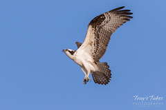 Male Osprey landing sequence - 8 of 28