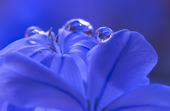 Tough and tenacious (alideniese) Tags: macro closeup 7dwf hbw flower petals plumbago plumbaginaceae flora nature botanical water droplet waterdrop refraction alideniese purple blue colour colourful plant detail light tiny small i