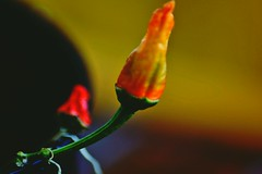 False Reflection (Hot) (PinoyFri) Tags: pflanze plant plante planta impianto planz anlegg växt paprika spanischerpfeffer nachtschattengewächse capsicumannuum jalapeño macro nahaufnahme noreflexion falsereflection hot redhotchillipepper pfefferoni chilly makro nikond3400 tamron70300