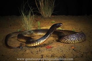 portrait: Northern Brown Snake
