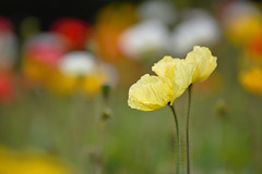 Yellow poppies (rvtn) Tags: poppy poppies icelandpoppy papavernudicaul yellow flowers flower spring bokeh