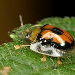 Tortoise beetle, Charidotella sp., Cassidinae thumbnail