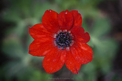 just an anemone (@Katerina Log) Tags: poppy pollen outdoor nature natura flower foliage katerinalog sonyilce6500 105mmf28 daylight bokeh depthoffield macro colour closeup red plant bright inexplore