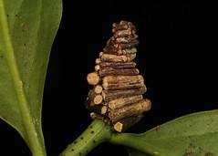 """Log Cabin"" Bagworm Moth Caterpillar (Psychidae) (John Horstman (itchydogimages, SINOBUG)) Tags: insect macro china yunnan itchydogimages sinobug entomology canon black moth lepidoptera bagworm psychidae caterpillar larva log cabin topf25 tweet fb top"