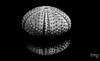 Skeleton (Teo Martínez (temege)) Tags: naturaleza nature erizo sea urchin mar see agua black white blanco negro bn