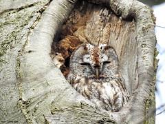 Tawny Owl (Corine Bliek) Tags: bird birds vogel vogels uilen roofvogels birdsofprey nature natuur wildlife bomen nest strixaluco