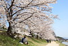 Sakura (Teruhide Tomori) Tags: pathway riverside people landscape kyoto japan japon kamoriver sakura blossom bloom cherry spring tree 京都 日本 賀茂川 鴨川 春 桜 ソメイヨシノ 上賀茂 kamigamo 花