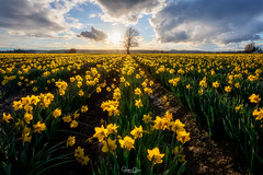 Tree of Life (Hilton Chen) Tags: daffodils mountvernon leadinglines washington flowers colorfulsky skagitvalley sunstar sunset spring lonetree landscape laconner unitedstates us