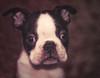 Scamp has arrived. (dusk_rider) Tags: puppy boston terrier england nikon d7200 portrait cute adorable eyes ears black white nikkor 60m f28d dusk rider