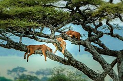 Best of Big Cats (csahasrangshu) Tags: bigcatsforever tanzania animals kruger south africa naturephotography nature d810 sahasrangshuphotography tiger lion leopard