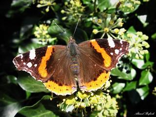 Butterfly 1636