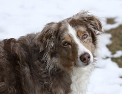 When Is It Going To Warm Up? (Diane Marshman) Tags: madie australian shepherd aussie red merle redmerle male brown tan white markings fur medium size dog breed pet spring snow outdoors northeast pa pennsylvania nature
