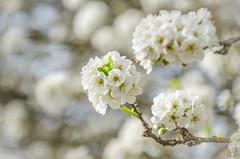 Flores de ciruelo (inma F) Tags: plumtree flower spring old farm rural white sky tree plumflower macro flor ciruelo blanco ciruelero arbol primavera smileonsaturday catchthebokeh
