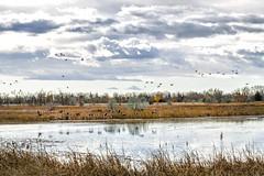 Kinbrook Marsh, Brooks (aud.watson) Tags: canada alberta newellcounty brooks prairies lakenewell kinbrookmarsh steppe palliserstriangle semiaridclimate albertaprairie ducksunlimitedcanada northamericanwaterfowlresources wetlands marsh pond ponds lake lakes breedinghabitat wetlandecosystem easternirrigationdistrict water migratingbirds migratinggeese migratingswans duck ducks goose geese swan swans canadagoose sky cloud clouds brantacanadensis