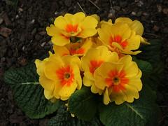 Primulas (4) (Wolfgang Bazer) Tags: botanischer garten wien vienna österreich austria flowers blossoms blumen blüten primulas primeln