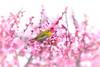 Japanese spring (mentsuru) Tags: ngc bird japanese white eye japan spring animal wildlife plum cherry blossom light pink tree