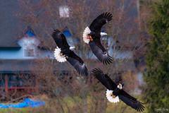 TRIO (chimphotography) Tags: bald eagle eagles wildlife chase three trio nature baldeagles flying bird food pnw flight majestic washington sequim