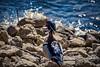 By the Bay (KWPashuk) Tags: nikon d7200 tamron tamron18400mm lightroom luminar luminar2018 kwpashuk kevinpashuk wood duck bird waterfowl wildlife urbanwildlife outdoors nature shoreline lasalle park burlington ontario canada