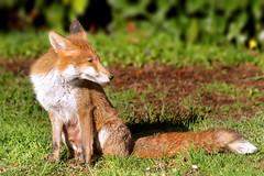 those quiet moments while the babies are asleep... (Sue Elderberry) Tags: fox redfox vixen vulpus vulpusvulpes urbanfox urbanwildlife garden animal canine spring springtime