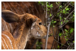 Antelope in the African veld
