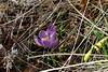 Hidden Spring (Sockenhummel) Tags: krokus schatten wilhelmsaue crocus hidden versteckt frühling spring flower blume wiese fuji x30