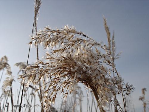 Тростник в инее ©  ayampolsky