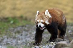 Roter Panda (Michael Döring) Tags: gelsenkirchen bismarck zoomerlebniswelt zoo roterpanda firefox afs600mm40e d850 michaeldöring