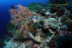Good Morning (kayak_no1) Tags: nikon d800e nauticamhousing 1635mmafsf4gedvr ysd1 underwater underwaterphotography wa wideangle diving scubadiving uw moalboal philippines turtle reef morning