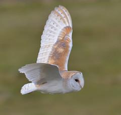 Barn Owl (KHR Images) Tags: barnowl barn owl tytoalba wild bird birdofprey hunting flying nenewashes rspb cambridgeshire fens eastanglia wildlife nature nikon d500 kevinrobson khrimages