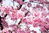 DSCF8656 (吳冠霖) Tags: 日本 japan 橫濱 摩天輪 日本丸 富士山 河口湖 千一景 音樂之森 雪 淺草 雷門 和服 押上 晴空塔 新宿御苑 千鳥淵 櫻花