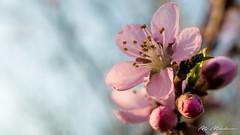 Spring feelings (Milen Mladenov) Tags: 2018 resco blooming blossom closeup flowers garden macro nature naturephotography peach peachblossom spring
