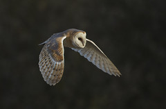 Barn Owl - More than a rumour (Ann and Chris) Tags: blacktoftsands barnowl owl wildlife wild wings beautiful nature raptor bird canon7dmarkii flying