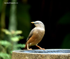 IMG_1675 Chestnut-tailed Starling (Sturnus malabaricus) (vlupadya) Tags: greatnature animal aves fauna indianbirds chestnuttailed starling sturnus kundapura karnataka