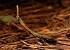 Praying Mantis (Phyllothelys sp., Mantidae) (John Horstman (itchydogimages, SINOBUG)) Tags: insect macro china yunnan itchydogimages sinobug entomology praying mantis brown mantidae topf25 top