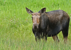 Moose...#4 (Guy Lichter Photography - 4M views Thank you) Tags: moose canon 5d3 canada manitoba rmnp wildlife animals mammals