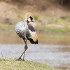 Grey Crowned-crane (Ian Locock Photography) Tags: 2017 birds greycrownedcrane kenya masaimara zebraplains