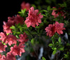 _MG_3324.CR2 (jalexartis) Tags: azalea shrubbery pinkazalea deeppinkazalea dark afterdark nightphotography night nightshots
