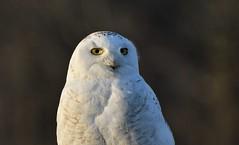 Snowy Eyes (hd.niel) Tags: snowyowl owls arctic lateseason goldenhour nature wildlife photography ontario wild